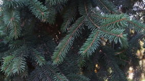 Fir branches swaying in the wind. Spruce branches swaying in the wind close up view stock footage