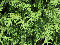 Fir branches of thuja Stock Images