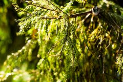 Fir branches under bright sunlight royalty free stock photos