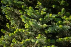 Fir branches under bright sunlight. Background royalty free stock photography