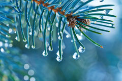 Fir branches with water drops Stock Photo