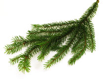 Fir branchlet Royalty Free Stock Photos