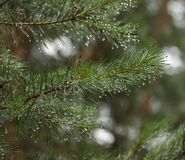 Fir branchs Royalty Free Stock Photography