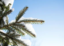 Fir brunches in snow on the sunny winter day Royalty Free Stock Photography