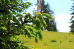 Fir buds. A view in the nature with some fir buds Stock Photography