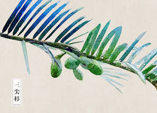Fir, cedar, tree, Cephalotaxus,Watercolor, painted, painting, art, design Royalty Free Stock Images
