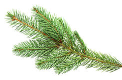 Fir closeup Royalty Free Stock Photo