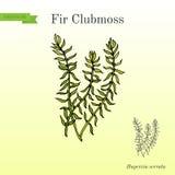 Fir clubmoss Huperzia serrata , northern firmoss, medicinal plant. Hand drawn botanical vector illustration Stock Image