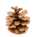 Fir-cone Stock Photography