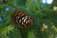 Fir cone. Royalty Free Stock Photos