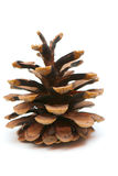 Fir-cone Royalty Free Stock Image