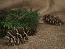 Fir-cone Royalty Free Stock Images