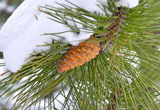 Fir cone Stock Image
