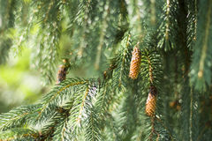 Fir-cone. On a background of green needles Stock Photography