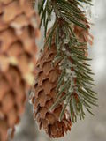 Fir cone Royalty Free Stock Image
