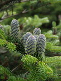 Fir - Cone. Green fir-cone on the tree stock photos