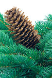 Fir cone and branch Royalty Free Stock Photo