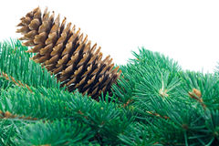Fir cone and branch Stock Image