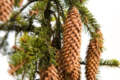 Fir cone on a branch Royalty Free Stock Photography
