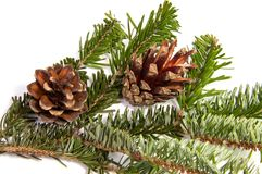 Fir cone on a branch. Coniferous tree.. Fir cone on a branch. Coniferous tree Royalty Free Stock Photography