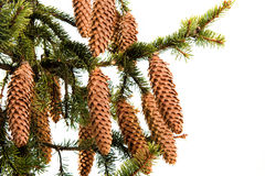 Fir cone on a branch Royalty Free Stock Image