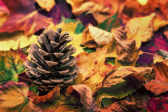 Fir cone on colorful autumn leaves. Studio closeup of a fir cone on colorful autumn leaves fallen to the ground Stock Photography