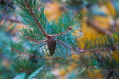 Fir cone. In the fall Royalty Free Stock Photo