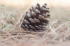 Fir-cone in forest Stock Photography