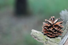 Fir cone that lies on a bough Royalty Free Stock Images
