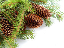 Free Fir Cone On The Branch Stock Photos - 1592573