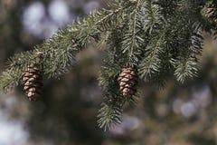 Fir Cone. On Oregon pine Stock Photo