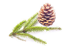 Fir cone and spruce branch Stock Images