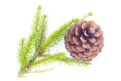 Fir cone and spruce branch Royalty Free Stock Image
