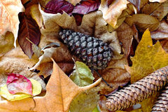 fir cone surrounded by autumn leaves Royalty Free Stock Image