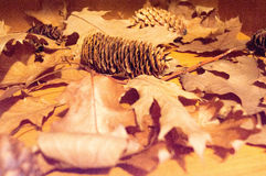 Fir cone surrounded by brown  fallen autumn leaves Royalty Free Stock Photography