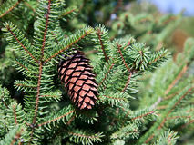 Fir Cone in Tree Stock Photography
