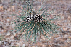 Fir-cone stock images