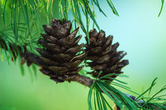 Fir Cone in Tree Royalty Free Stock Image