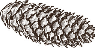 Fir-cone. Vector drawing of the big dry fir-cone Royalty Free Stock Image