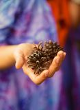 Fir-cone in woman hand, Ecology concept Stock Image