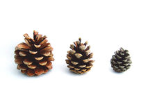 Fir- cones Stock Photo
