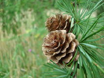 Fir-cones. At the forest Stock Image