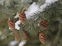 Fir cones. In winter Royalty Free Stock Images