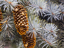 Free Fir Cones Royalty Free Stock Photography - 53058067