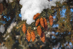 Fir cones. The snow has covered fir-tree branches with strobiles Royalty Free Stock Photography