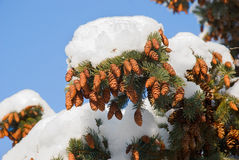 Fir cones. The snow has covered fir-tree branches with strobiles Royalty Free Stock Photo
