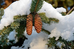 Fir cones. The snow has covered fir-tree branches with strobiles Stock Images