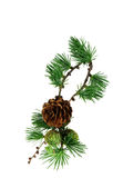 Fir cones Royalty Free Stock Photo