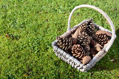 Fir cones in a basket on green grass Royalty Free Stock Photos