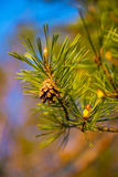Fir cones on a branch Royalty Free Stock Images